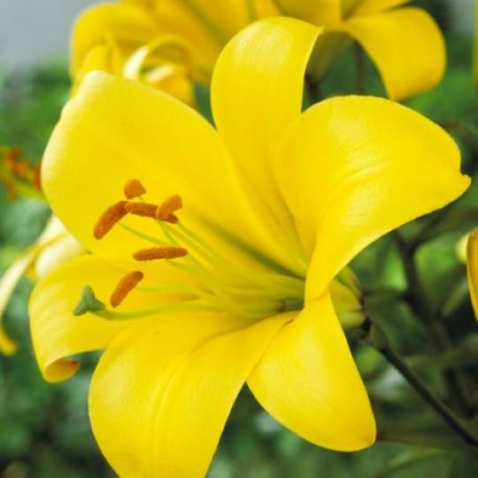 Upfacing Yellow