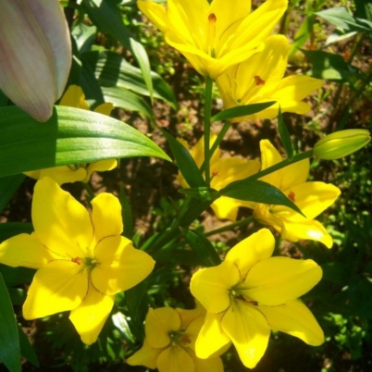 Yellow Cocotte