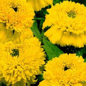 Бархатцы прямостоячие Купидон лимонно-желтый (20 см)