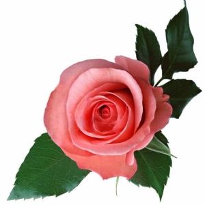 Роза Kordes