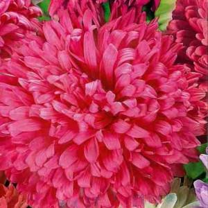 Астра Сашенька воронежская темно-розовая
