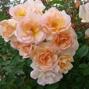 Роза Абсолютмент Клауд