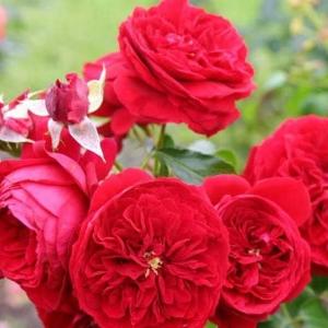 Роза Роткепхен