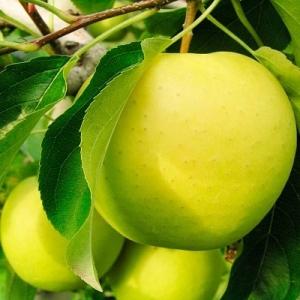 Яблоня Ананасное (двухлетняя)