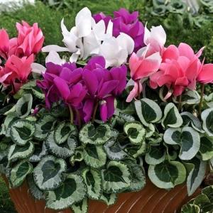 Цикламен персидский крупноцветковый, смесь