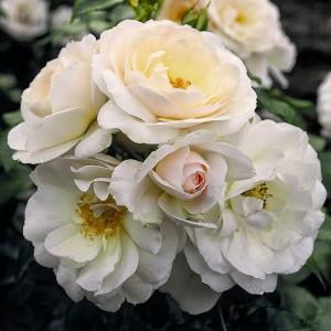 Роза Сириус TANTAU