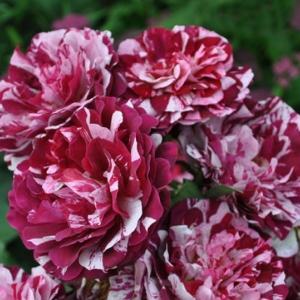 Роза Нью Имейджин штамбовая