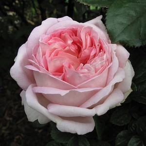 Роза Мирьям