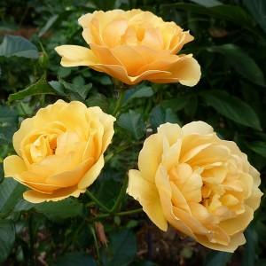Роза Амбер Квин