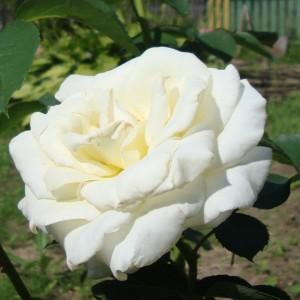 Роза Шопен штамбовая
