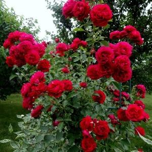 Роза Мадригал