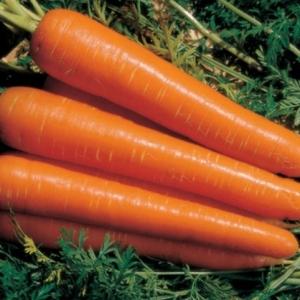 Морковь Амстердамская столовая