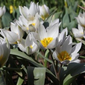 Тюльпан Полихрома