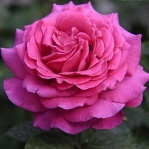 Роза Шартрез де Парм