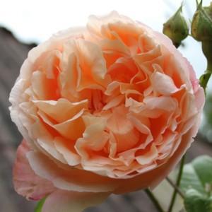 Роза Папи Дельбар