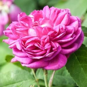 Роза Роуз де Решт