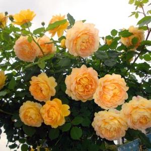 Роза Голден Селебрейшн штамбовая