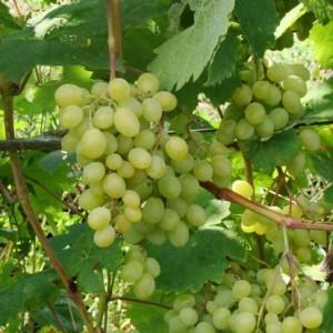 Характеристика и описание сорта винограда тигин || Характеристика и описание сорта винограда тигин