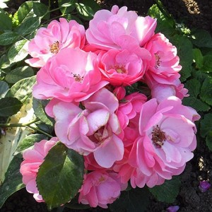 Роза штамбовая Ангела