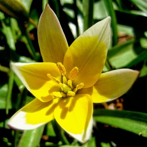 Тюльпан Тарда