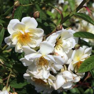 Роза Ликкефунд