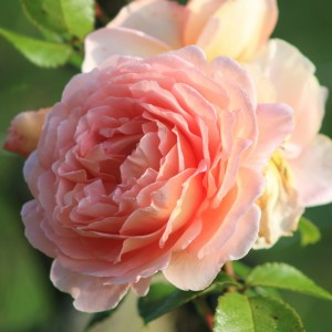 Роза Поль Бокус