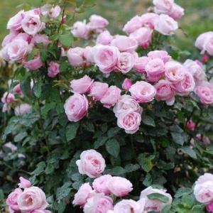 Роза Бийе Ду