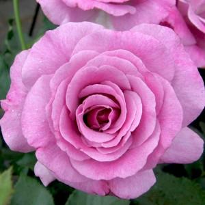 Роза Виолет Парфюм