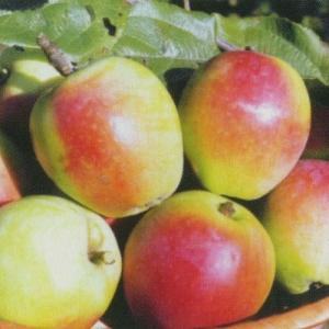 Яблоня Белорусский Синап