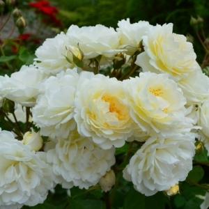 Роза Таксандрия