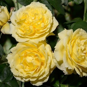 Роза Чайна Герл