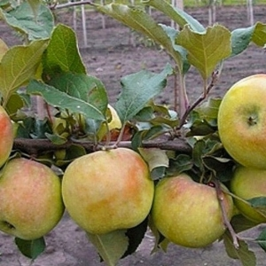 Яблоня Алдас