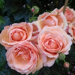 Роза Леди Мармелад