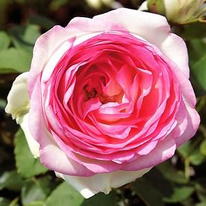 Роза Бидермеер TANTAU