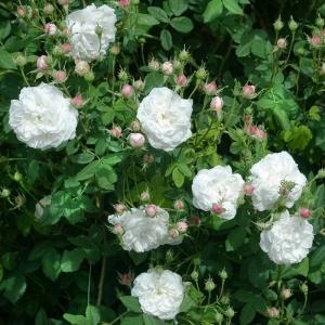 Роза Мадам Плантье