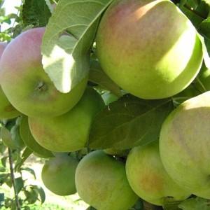 Яблоня зимняя Надзейная (Надежная)