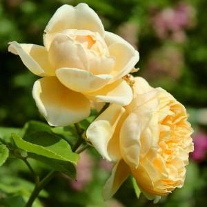 Роза Шарлотта штамбовая