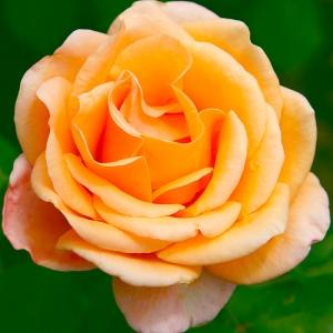 Роза Малага