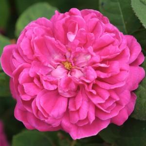 Роза Роз де Решт