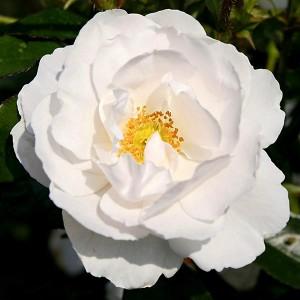 Роза Хелла KORDES