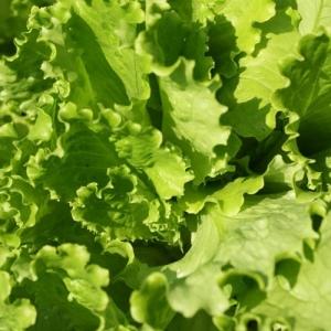 Салат Грюнетта листовой