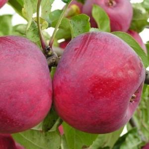 Яблоня летняя Ред Фри