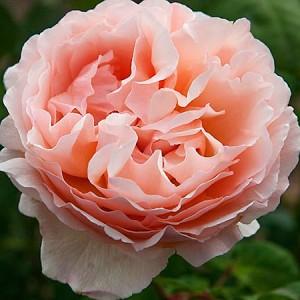 Роза Принцесса Шарлен Монако MEILLAND