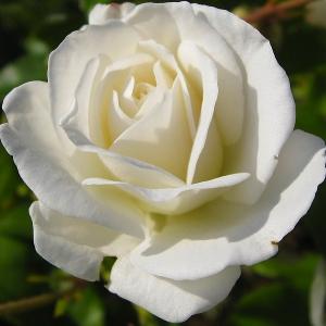 Роза Мачо