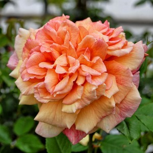 Роза Алоха