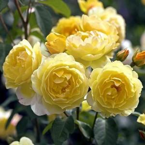 Роза Шарлотта