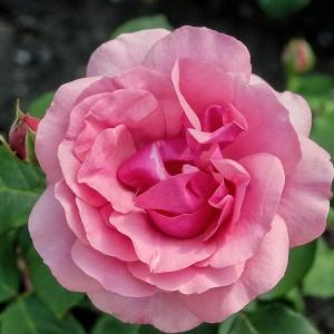 Роза Гейша TANTAU