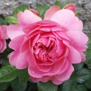 Роза Леонардо да Винчи