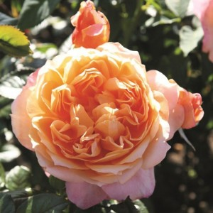 Роза Капри TANTAU