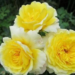 Роза Зэ Сан энд зе Хат